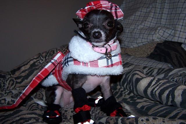 Cute Funny Chihuahua Puppy