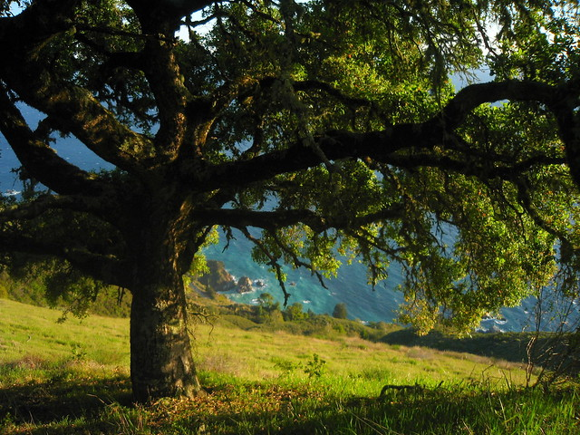 Oak on the Mountain