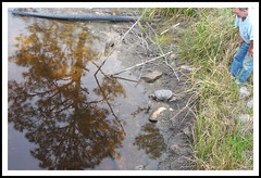 EASTERN SNAPPING TURTLE - Chelydra serpentina