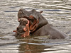 Hippopotamus juveniles at play 0R7E2203