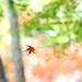A Momiji Leaf by yoshiko314