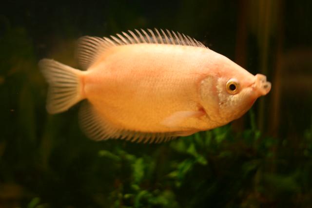 Kissing gourami flickr photo sharing for Kissing gourami fish