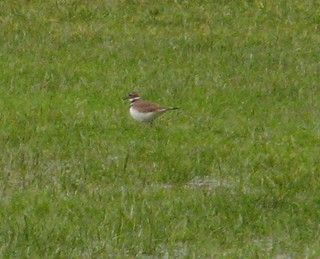 Killdeer!