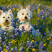 Texas Wildflowers, Dogs