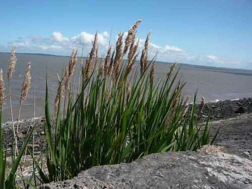 Estuary grass
