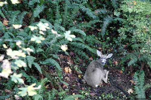 deer among the backyard ferns    MG 4922