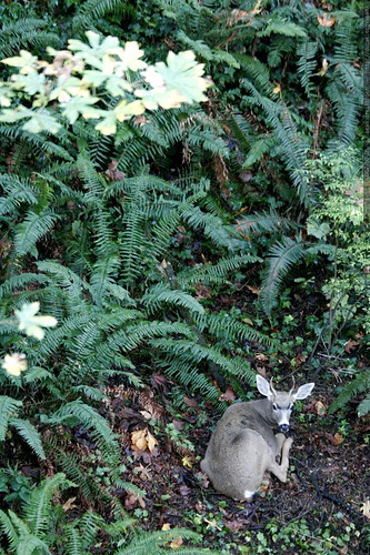 deer among the backyard ferns    MG 4963