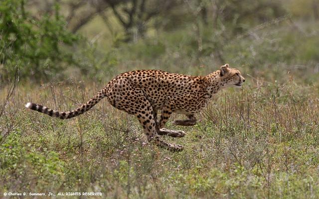 Cheetah running full speed IMG_0447 | Flickr - Photo Sharing!