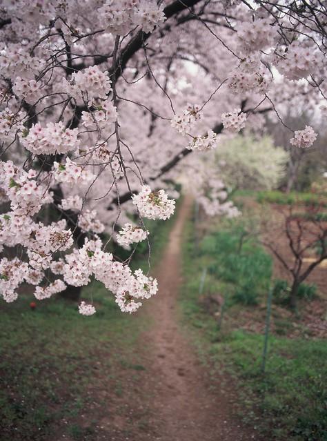 櫻花小徑 上田城-櫻千本