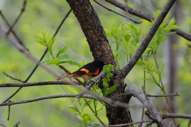 Header of American Redstart