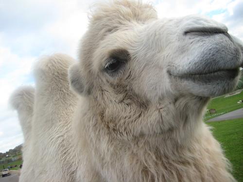 01 - November - 2007 -- White Camel