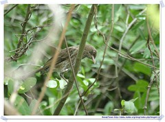 20041023_Guana@BVI_Pearly-eyed Thrasher_009_A