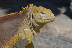 S. Plaza Island Land Iguana