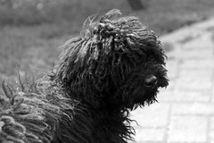 schnoodle(0.0), pumi(0.0), dog breed(1.0), animal(1.0), dog(1.0), lagotto romagnolo(1.0), bouvier des flandres(1.0), monochrome photography(1.0), portuguese water dog(1.0), spanish water dog(1.0), barbet(1.0), monochrome(1.0), carnivoran(1.0), black-and-white(1.0), black(1.0),
