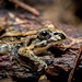 Costa Rican frog (not sure of species, feel free to make a suggestion!)