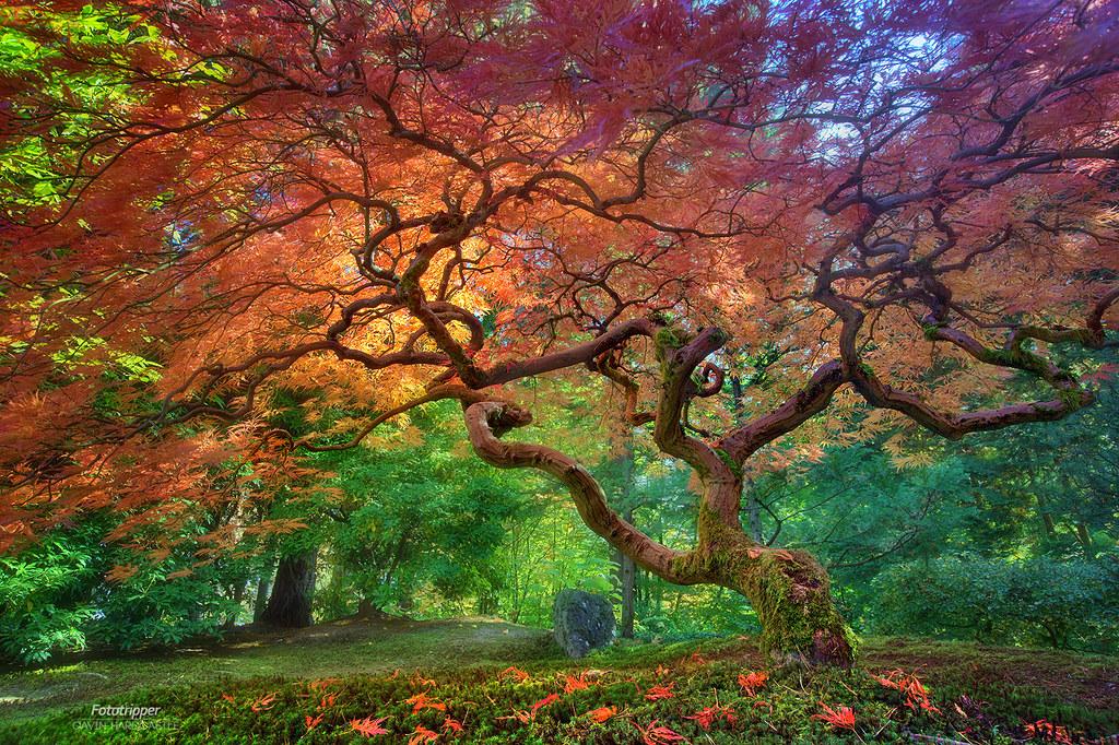 'Arterial Spray' - Portland Japanese Garden