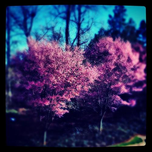 Sakura (59/365) by elawgrrl