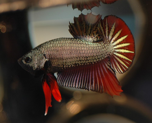 HMPK Dragon Genes M - Betta-Territory