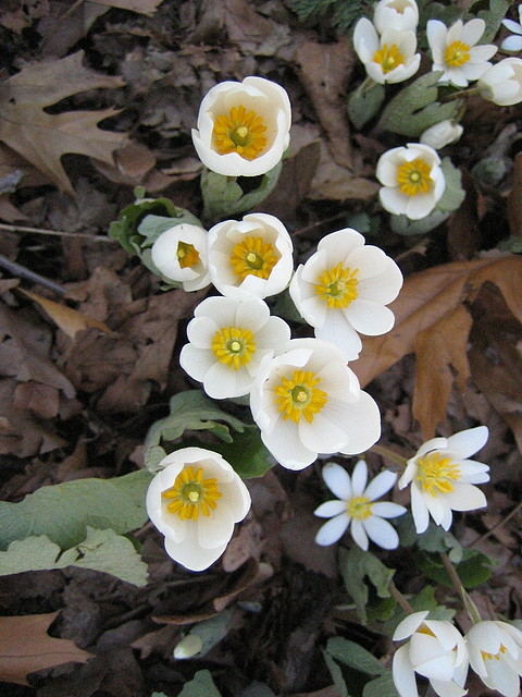 Sanguinaria canadensis, common name bloodroot, in the Native Flora Garden. Photo by Uli Lorimer.