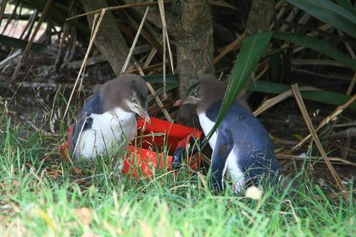黃眼企鵝保育區