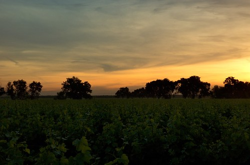 sunrise landscape vineyard