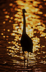 Great White Egret--golden silhouette