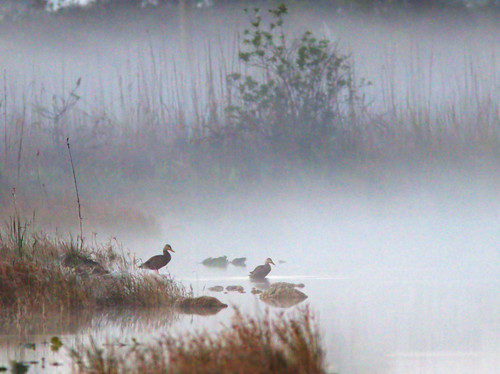 Mottled Ducks in fog 20170215