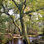 Forest Oak