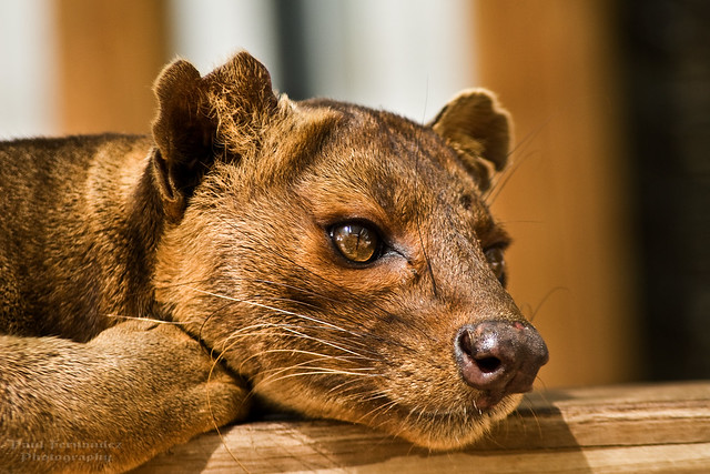 Fosa (Formerly Fossa) Resting at the Naples Zoo, Florida