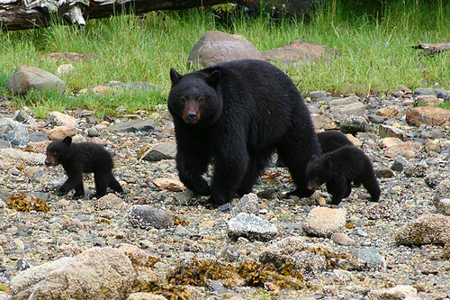Black Bear and Cubs in the Bedwell River Valley off Bedwell Sound, West Coast Vancouver Island, British Columbia. Photo: Clayoquot Wilderness Resort: www.wildretreat.com