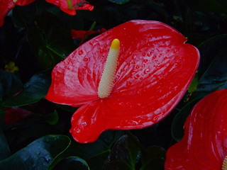 Red coloured Anthurium