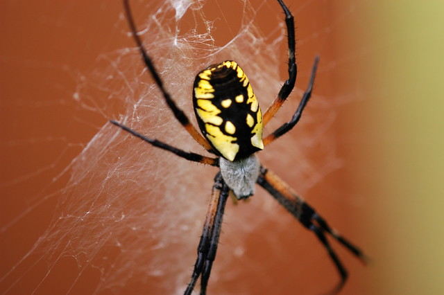 Our Garden Spider The Black And Yellow Argiope Flickr Photo Sharing