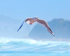 Gull against the sea