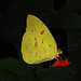 Cloudless Sulphur - Photo (c) Jerry Oldenettel, some rights reserved (CC BY-NC-SA)