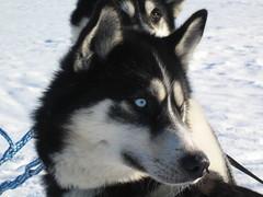 puppy(0.0), pet(0.0), karelian bear dog(0.0), russo-european laika(0.0), tamaskan dog(0.0), northern inuit dog(0.0), jã¤mthund(0.0), dog breed(1.0), animal(1.0), lapponian herder(1.0), west siberian laika(1.0), dog(1.0), miniature siberian husky(1.0), alaskan klee kai(1.0), siberian husky(1.0), east siberian laika(1.0), greenland dog(1.0), saarloos wolfdog(1.0), native american indian dog(1.0), alaskan malamute(1.0), sled dog(1.0), carnivoran(1.0),