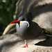 Small photo of Inca Tern bird