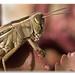 Female Migratory locust (Locusta migratoria) by Ratatusk