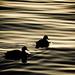 Sunrise Ducks - Golden Reflections by -Bennie-