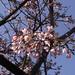 特富野古道阿里山賞櫻花20080315-16