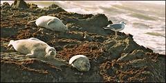 California Harbor Seals