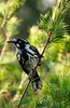 New Holland Honeyeater  Phylidonyris novaehollandiae Australia
