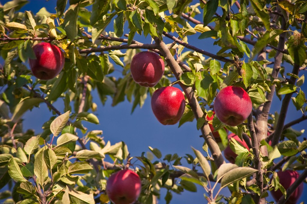 Apple Branches