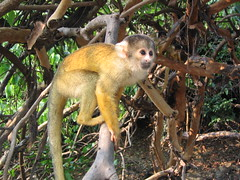 rainforest(0.0), kinkajou(0.0), animal(1.0), monkey(1.0), mammal(1.0), fauna(1.0), old world monkey(1.0), new world monkey(1.0), jungle(1.0), wildlife(1.0),
