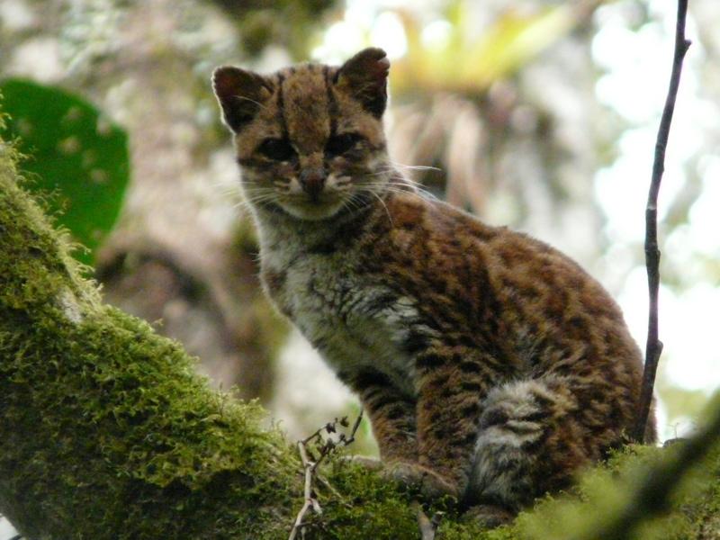 Онцилла Leopardus Tigrinus