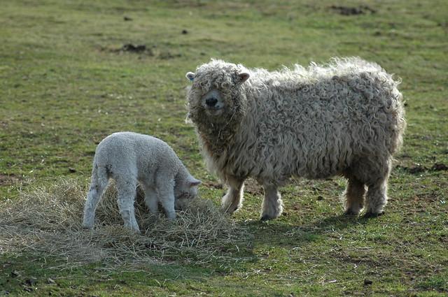 East Links Farm Sheep and Lamb