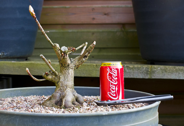 Horse Chestnut (Aesculus hippocastanum) Bonsai Tree in Large Pot with Coca Cola / Coke Can