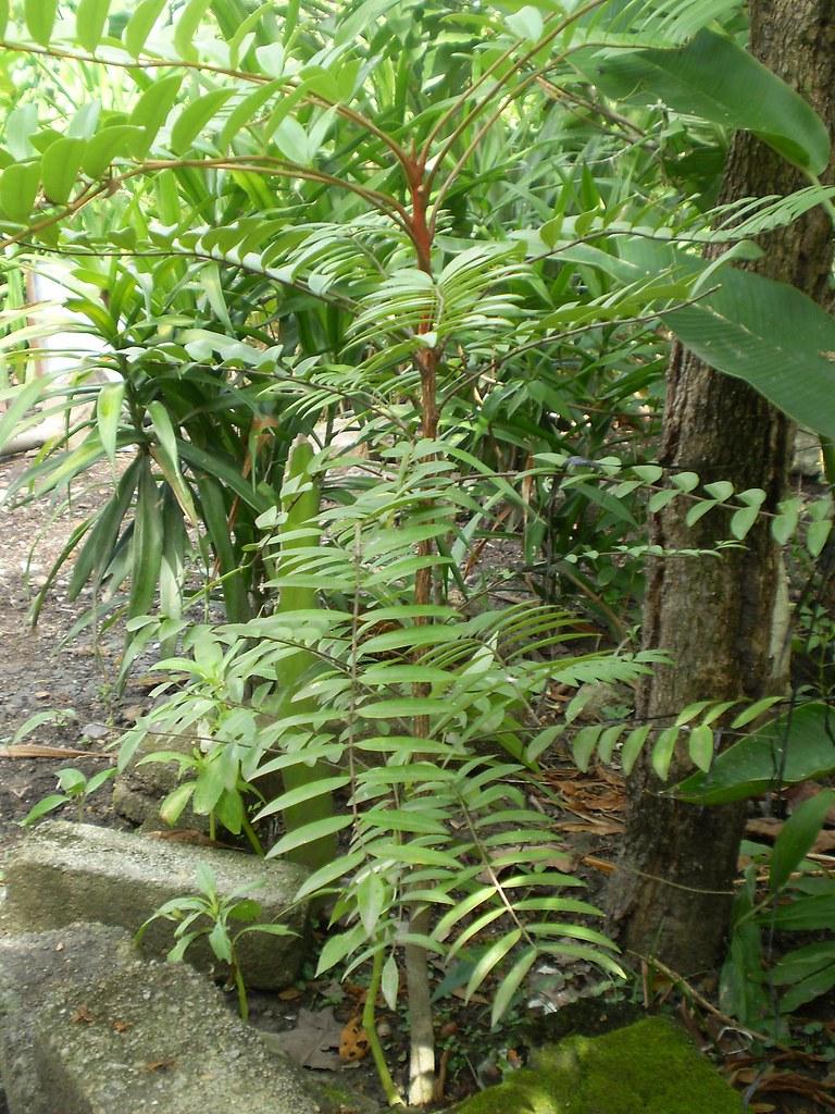 Longjack/tongkat ali/pasak bumi | Eurycoma longifolia Jack (… | Flickr