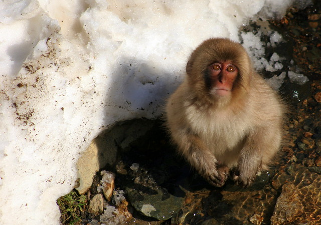 Looking Up - Snow Monkey - Jigokudani Yaenkoen Park - Nagano - Japan
