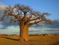 Baobab in the Veld, Limpopo, South Africa