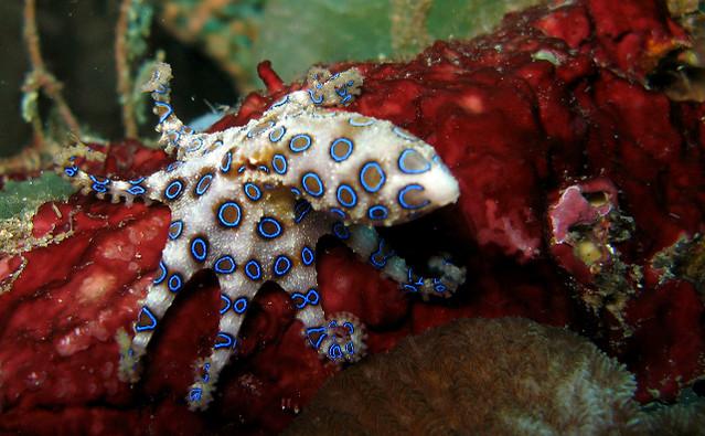 Blue Ringed Octopus near Bunaken, Indonesia